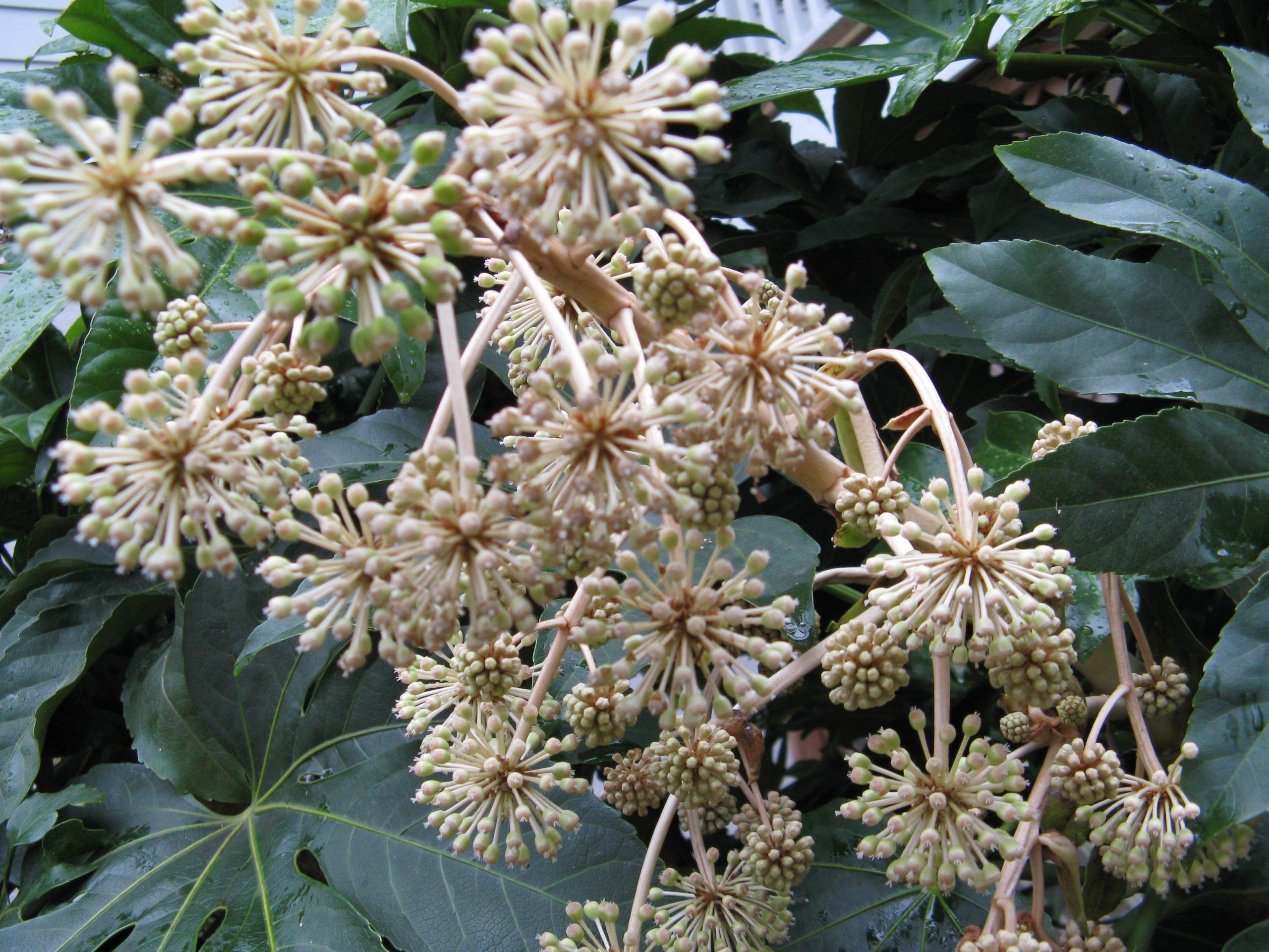 fatsia flowers
