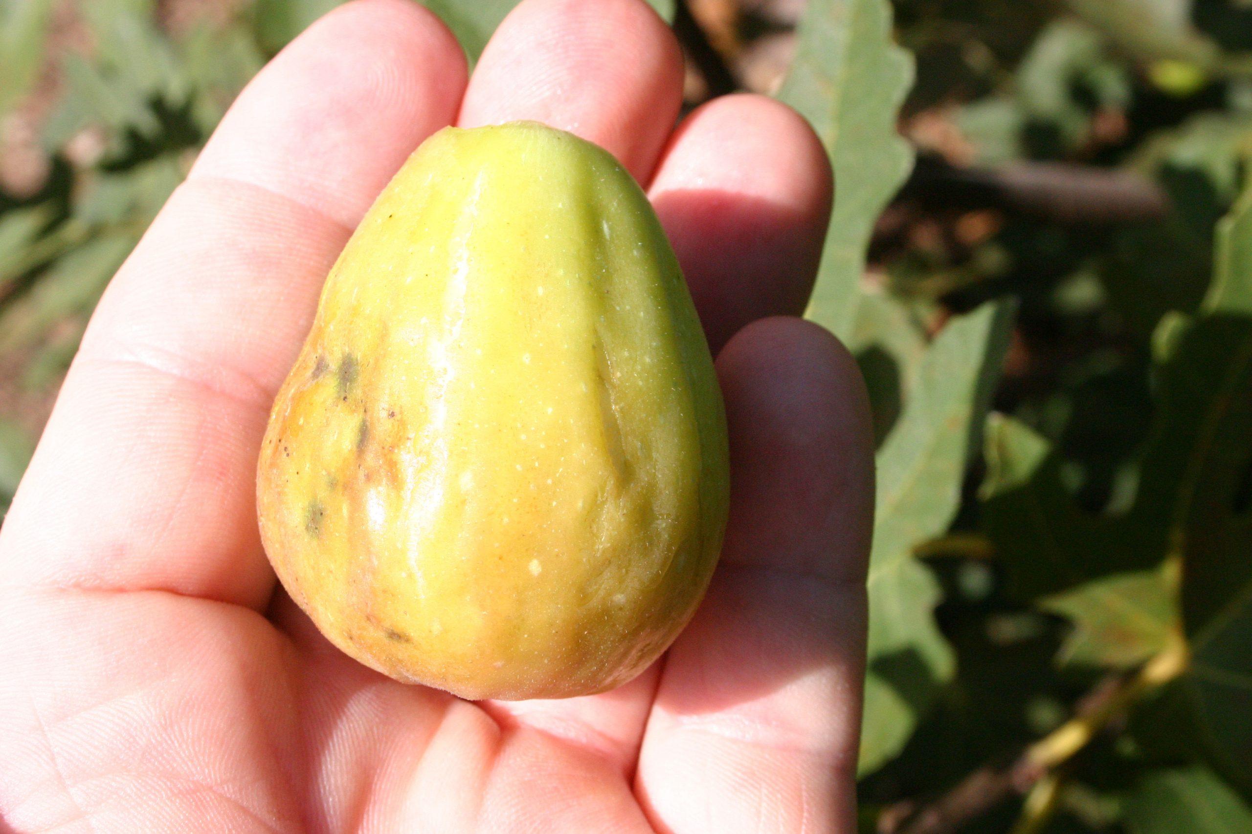 Brunswick fig