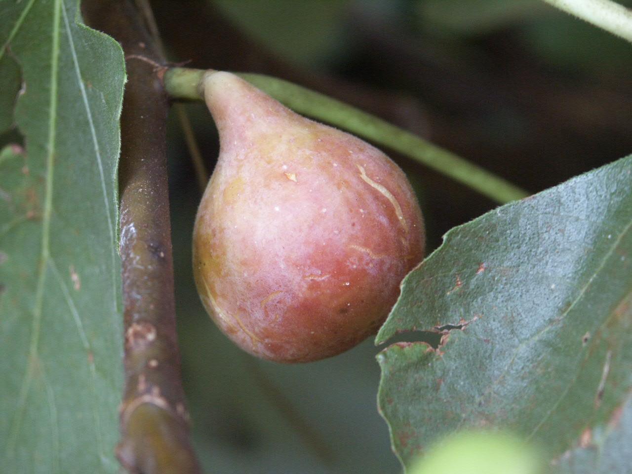fig fruit