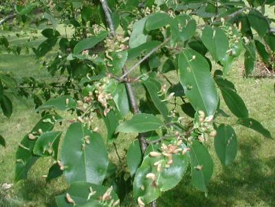 mite galls on cherry leaf