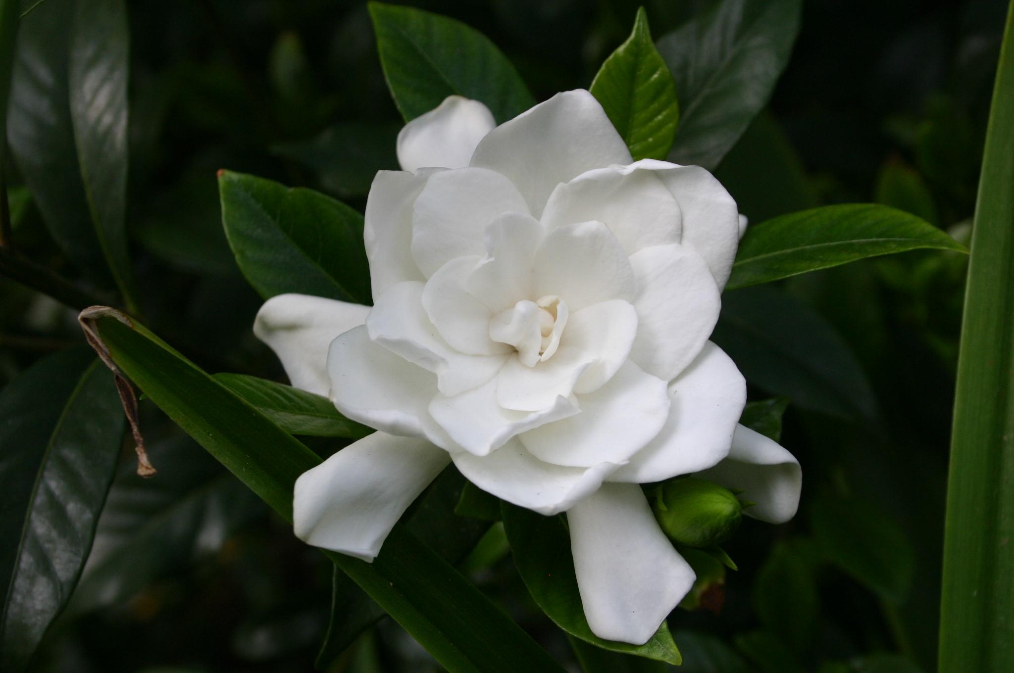 gardenia flower 4 WR