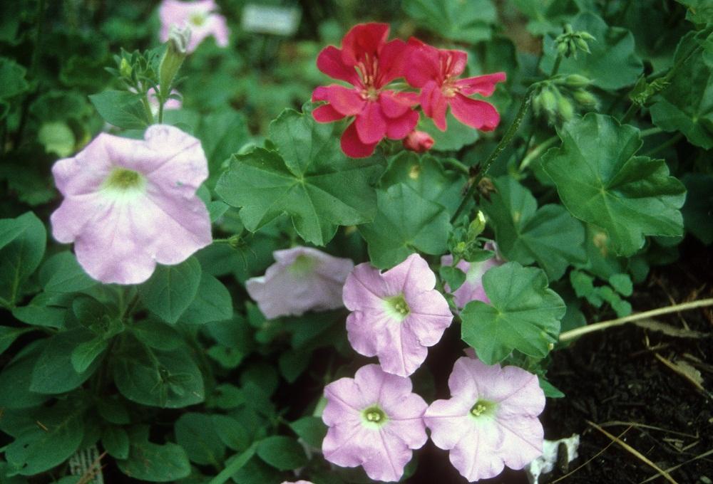 red geranium and petunias