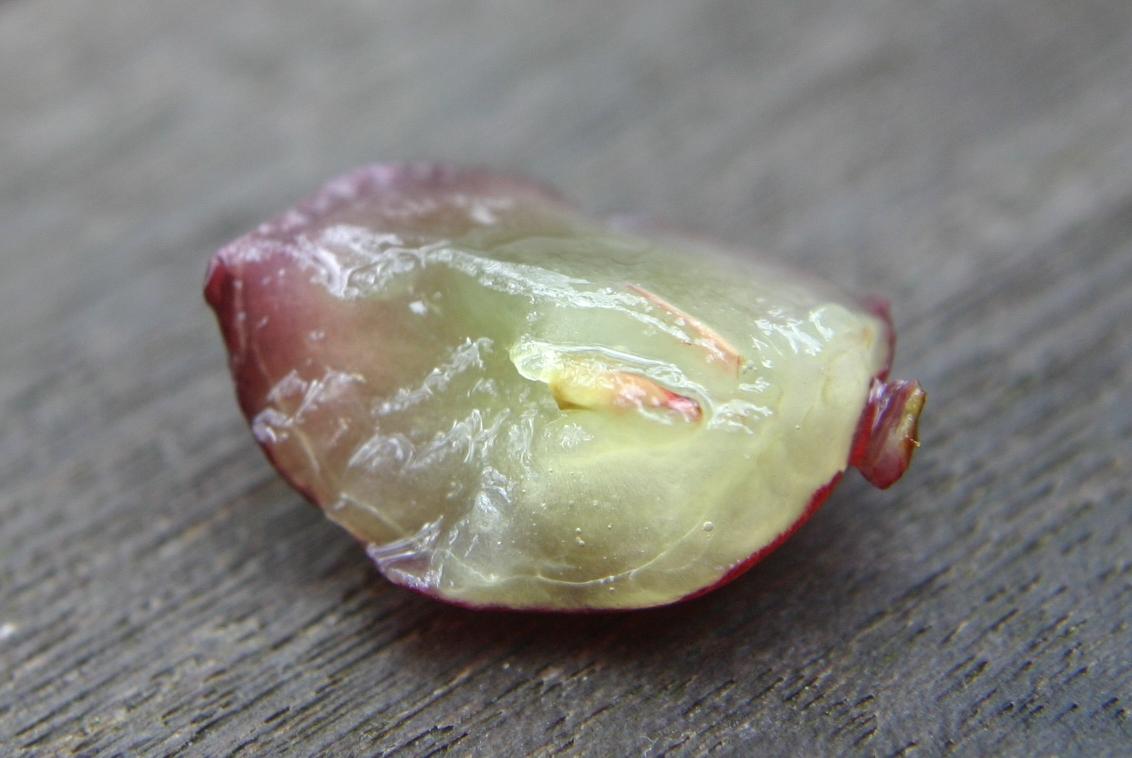grape seedless parthenocarpy