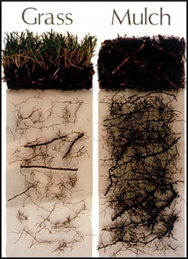 grass vs mulch under tree from treesforever dot org