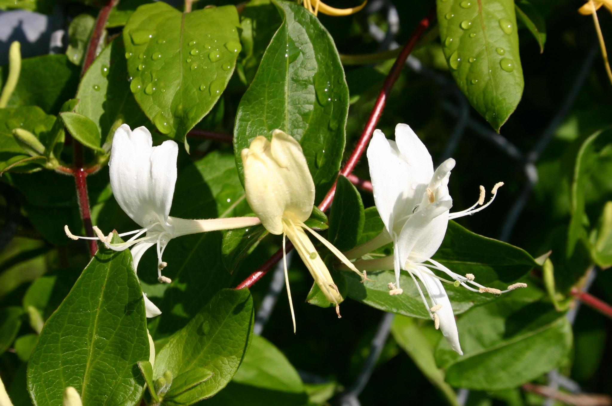 honeysuckle flower 2