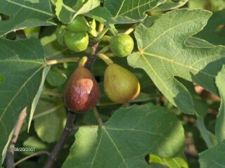 Photo of Hunt fig