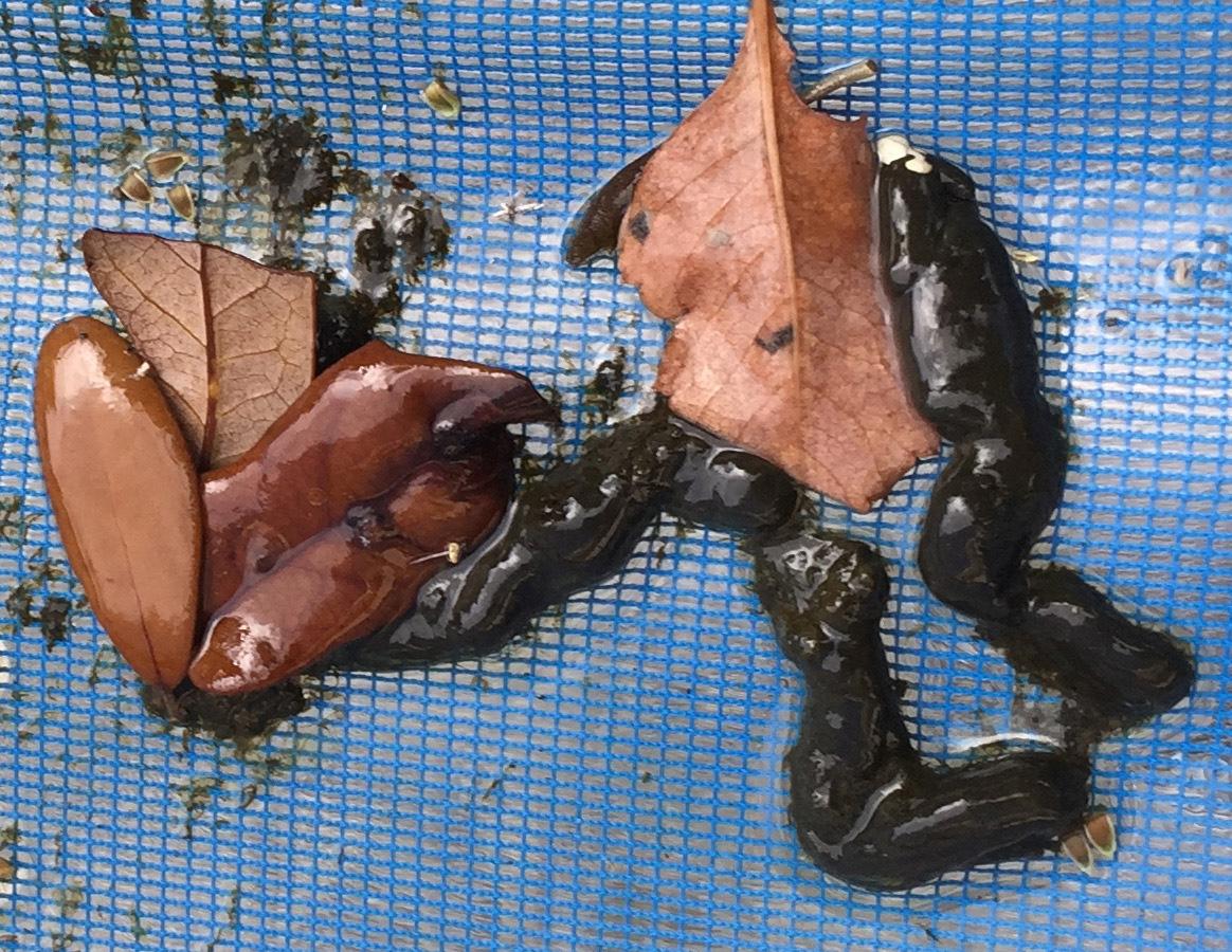 iguana feces bobcat