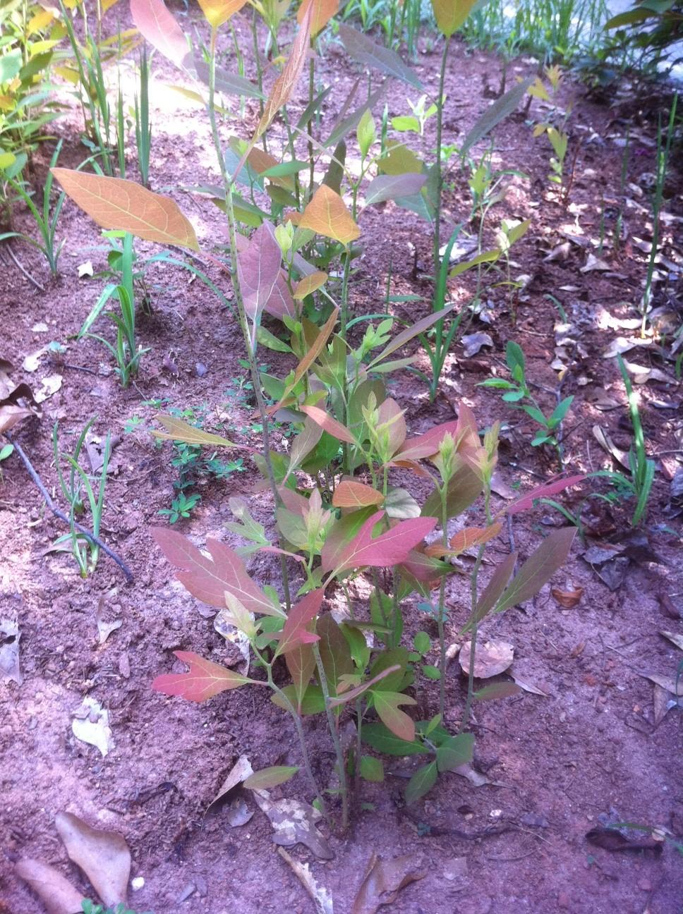 sassafras sprouts