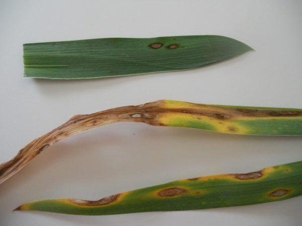 iris leaf spot