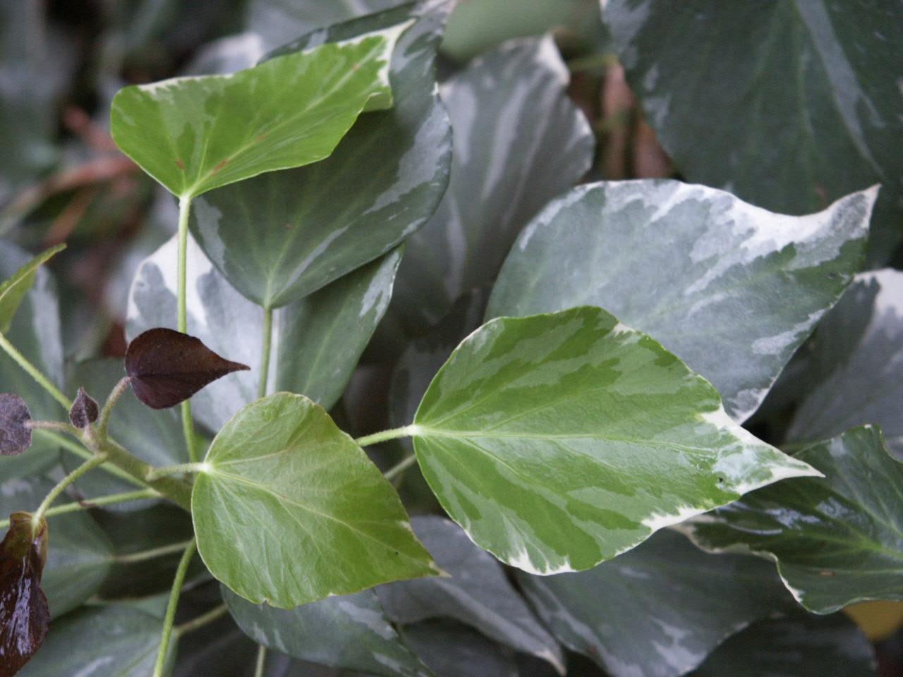 ivy adult variegated