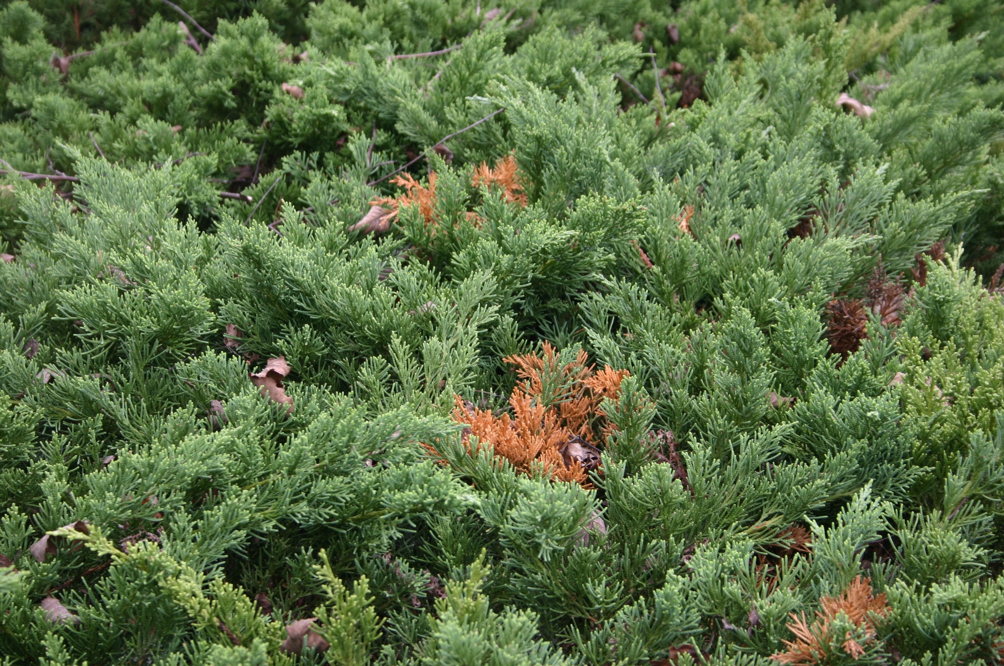 juniper dead branches