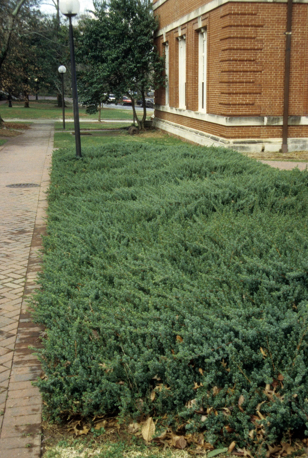 Groundcover for drivway strip