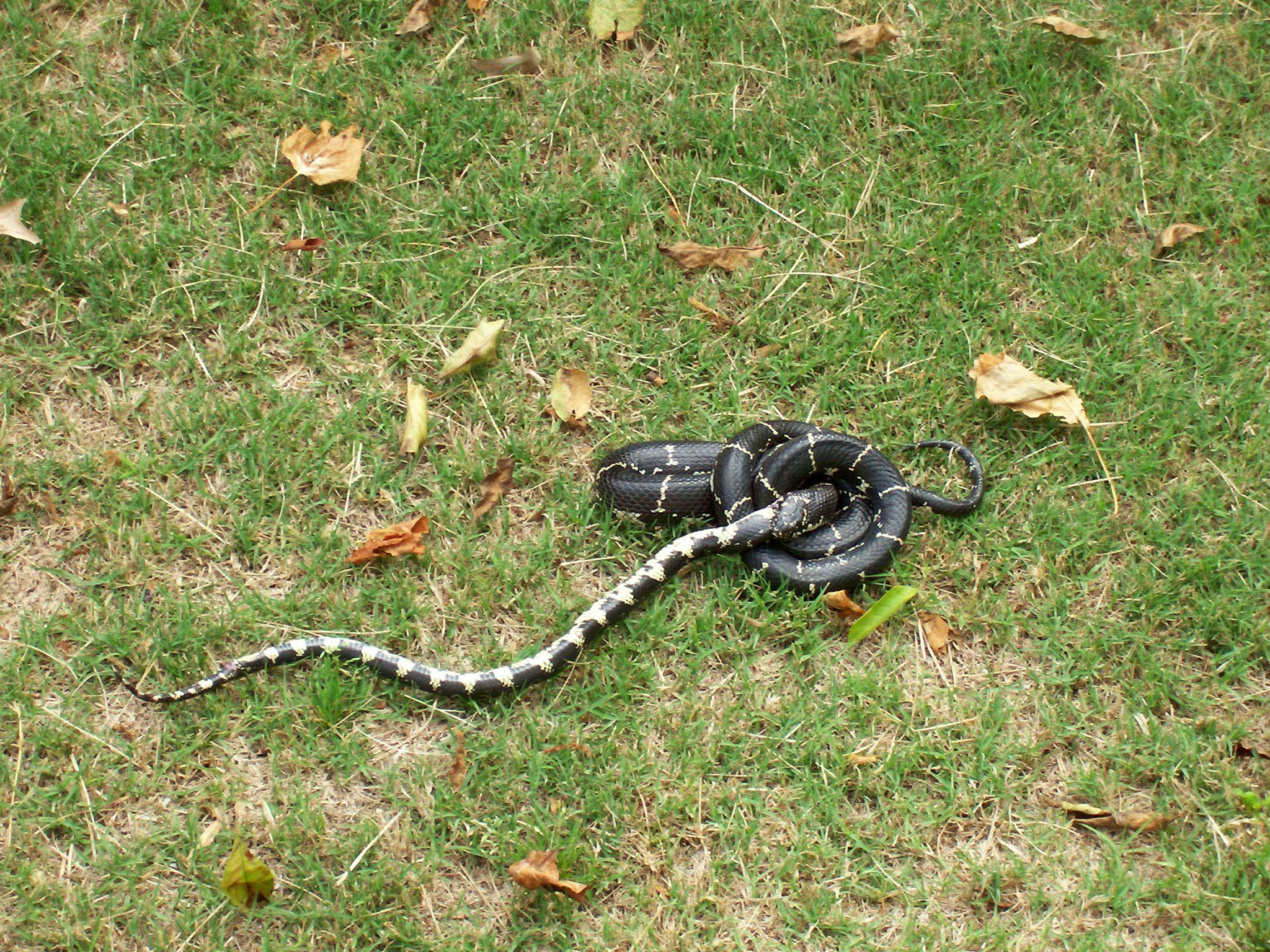kingsnake eating rat snake