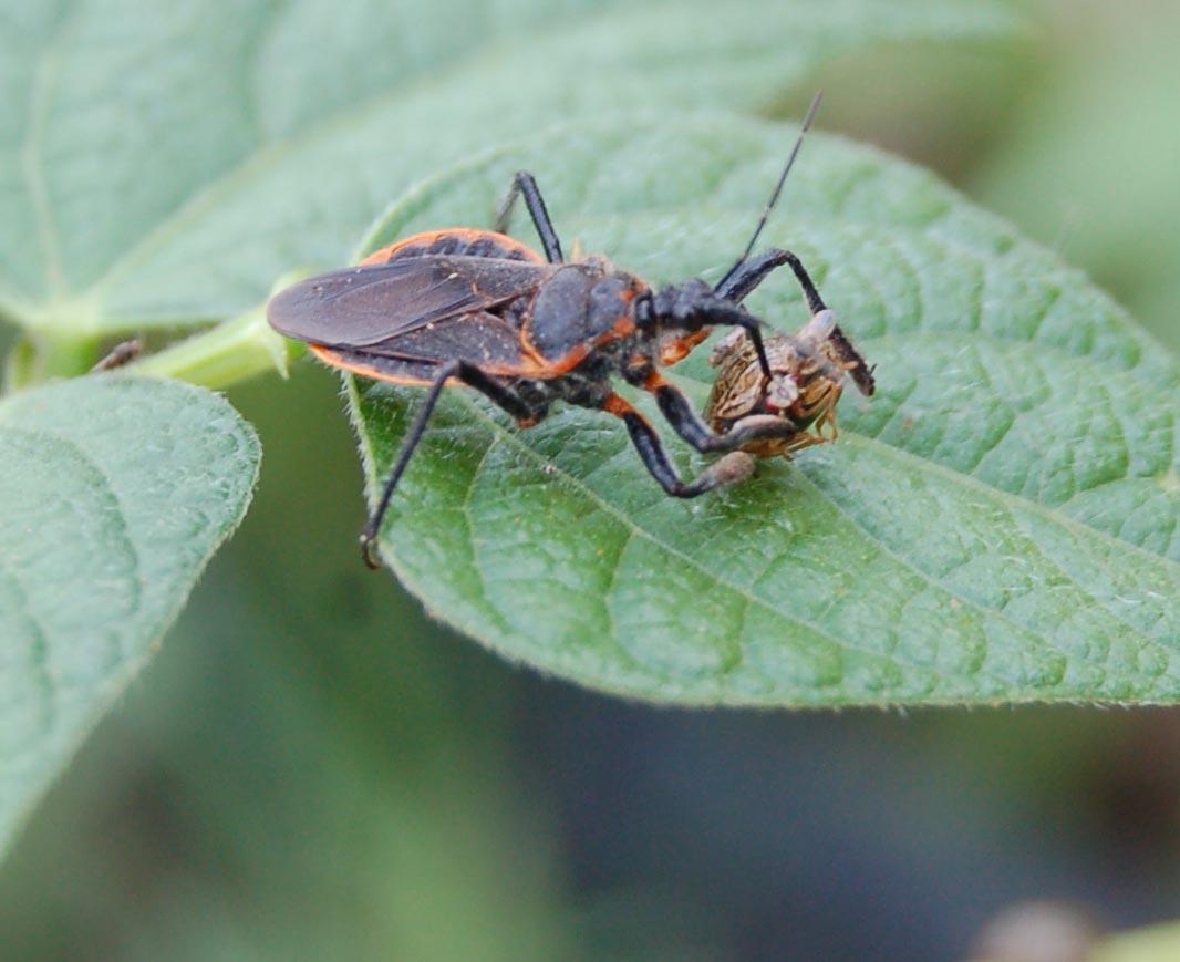 kudzu bug attacked by assassin bug