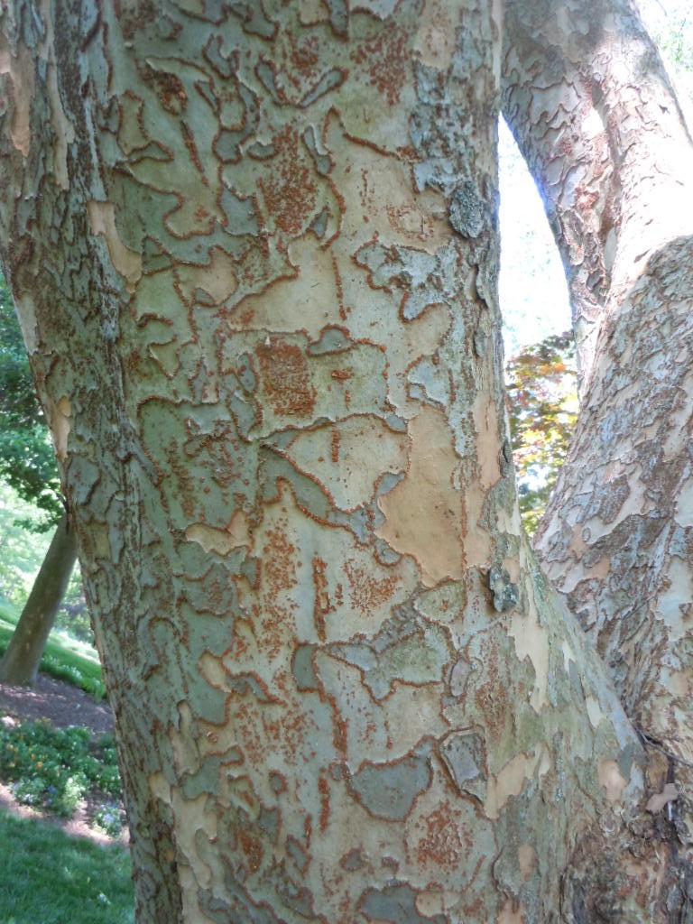 lacebark elm 1