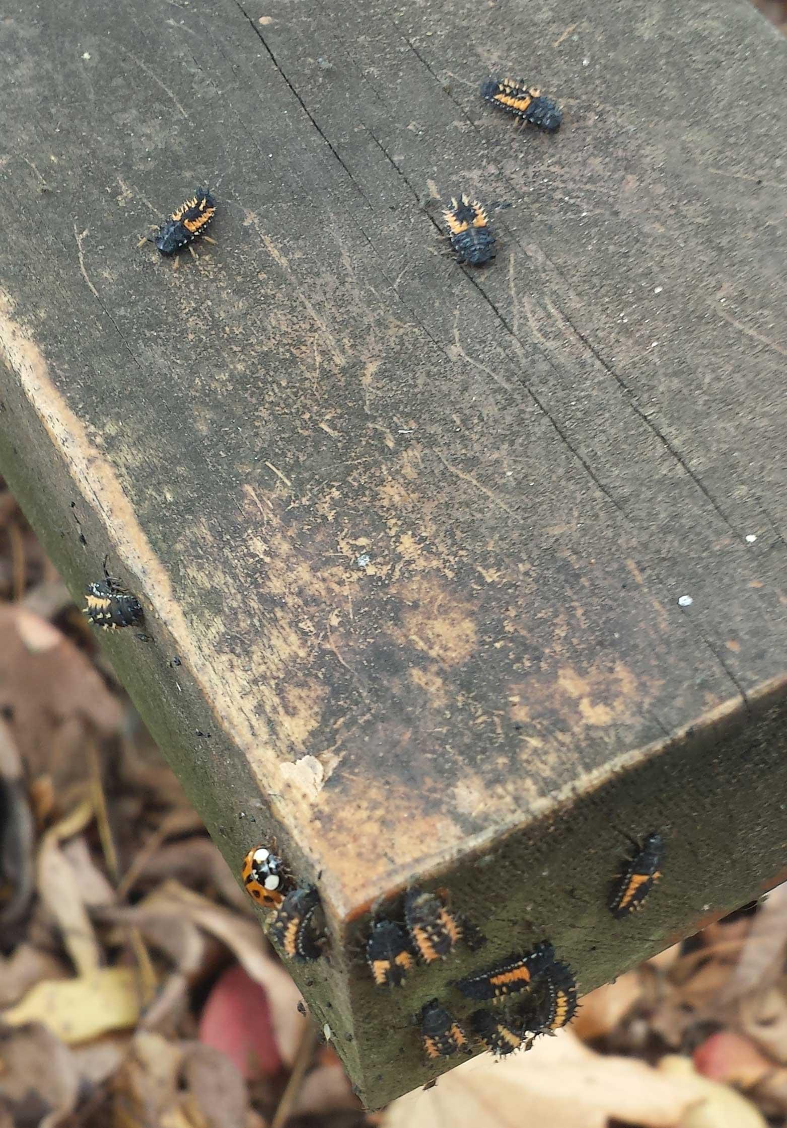 lady-beetle-larvae-1