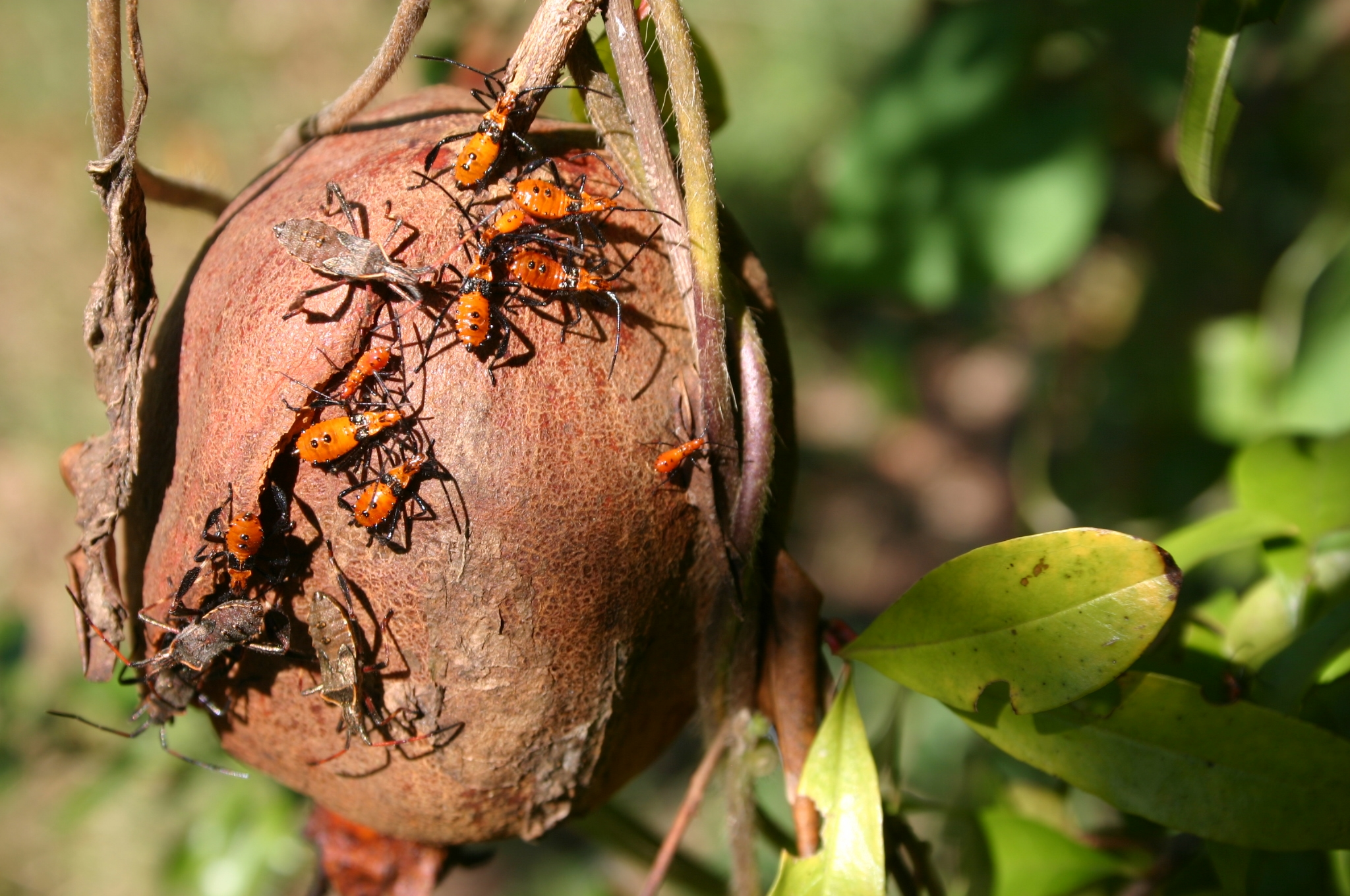 leaf footed bug and nymphs