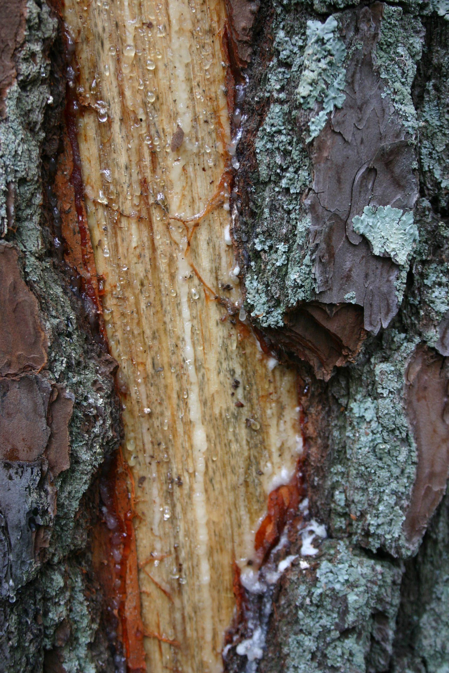 lightning damage to pine