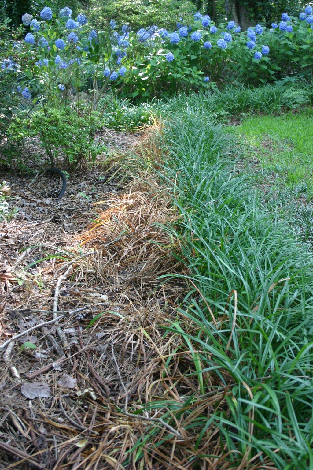liriope strip dead 10 days after spraying glyphosate