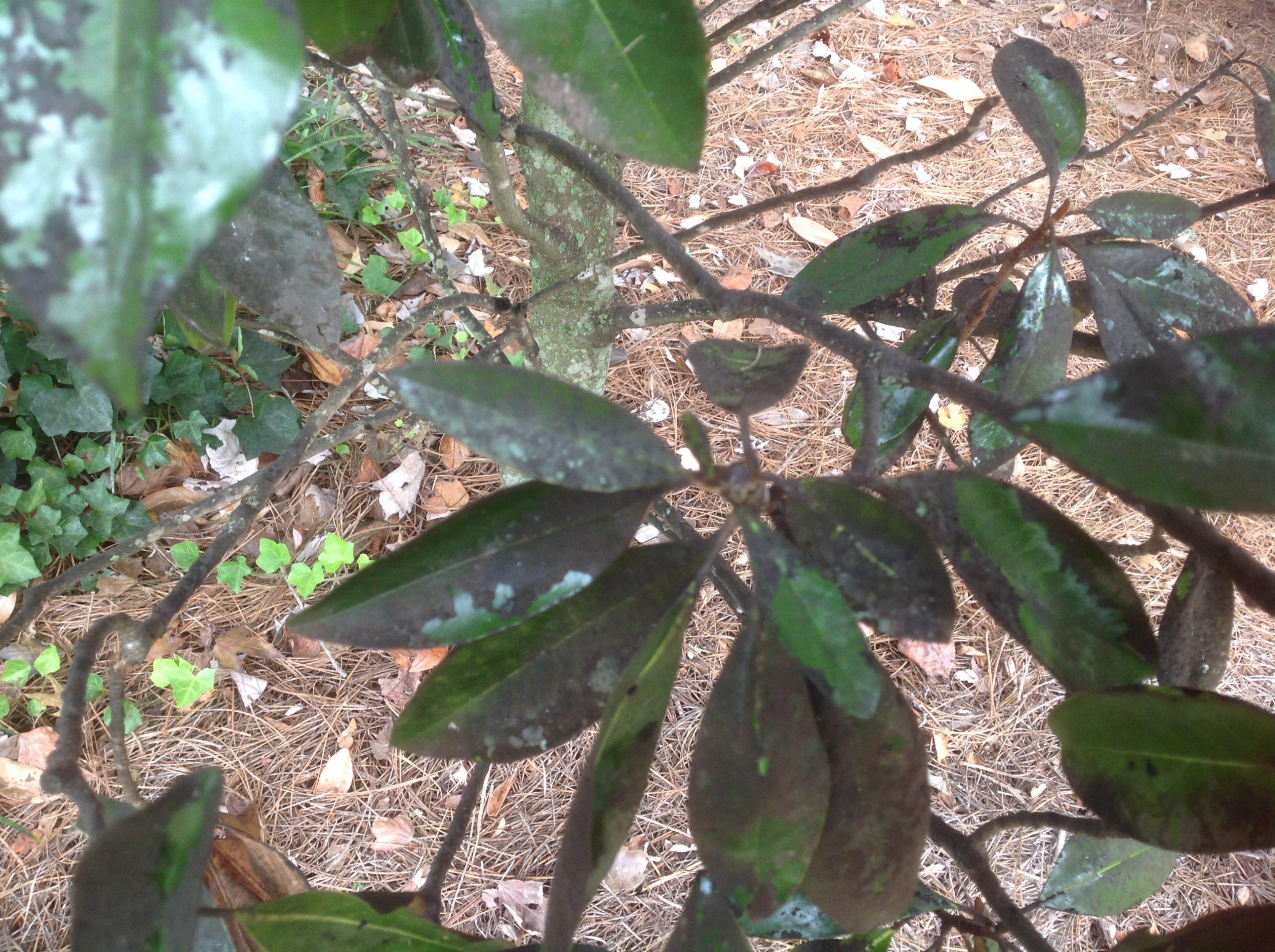 magnolia scale 1