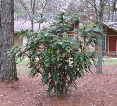 mahonia bush