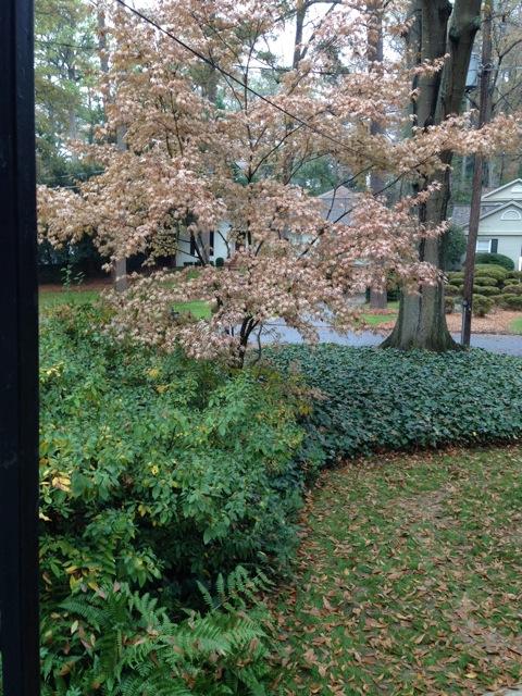 maple Bloodgood brown leaves in winter