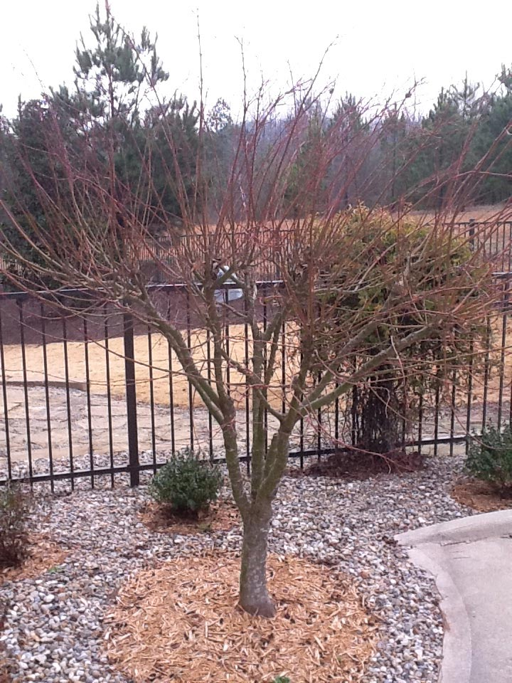 severely pruned coral bark maple