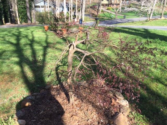 maple damaged 1