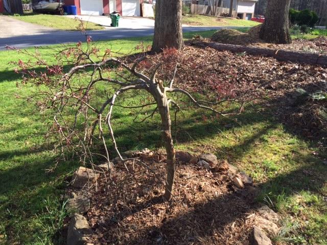 maple damaged 2