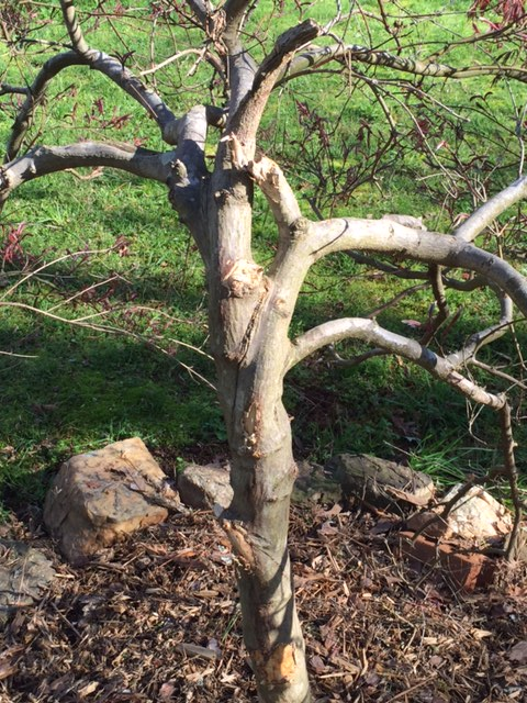 maple damaged 3