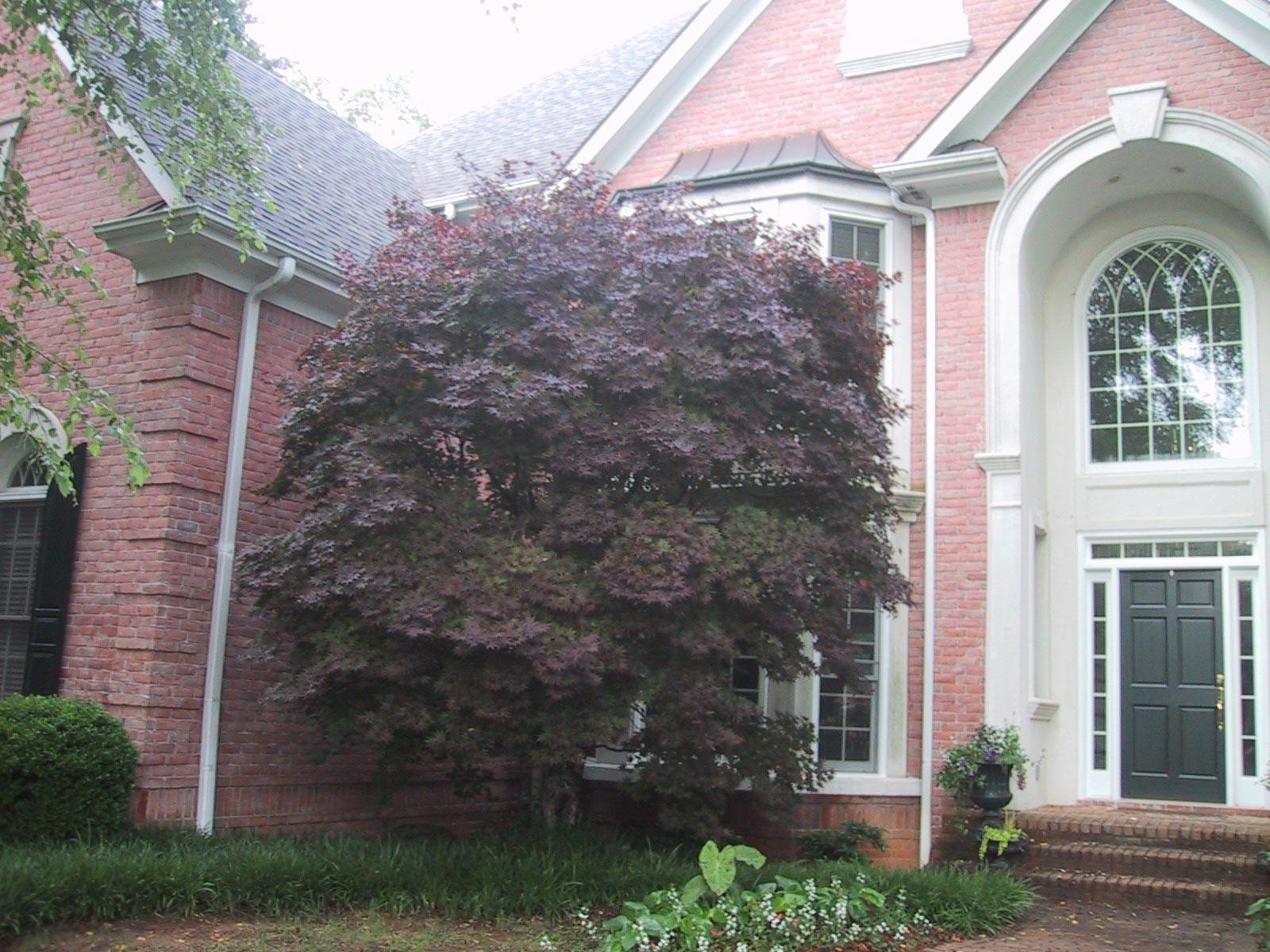 overgrown maple