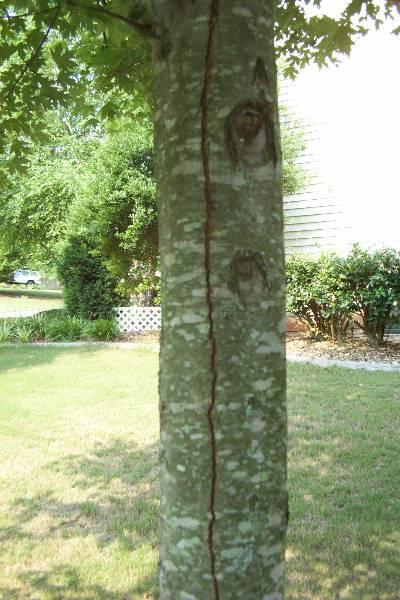 Maple Bark Splits Walter Reeves The Georgia Gardener