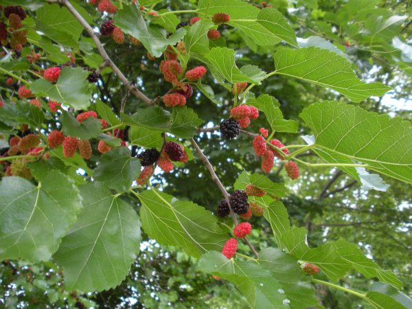 white mulberry fruit