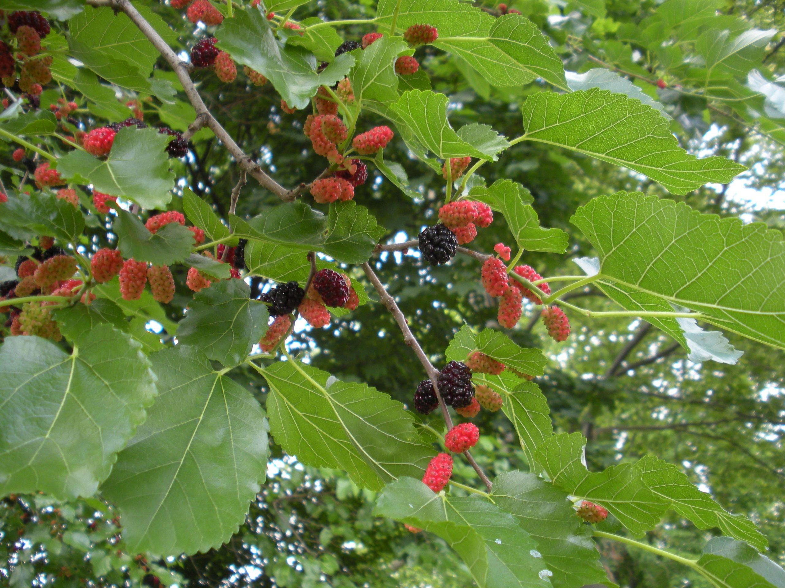 white mulberry fruit - identification