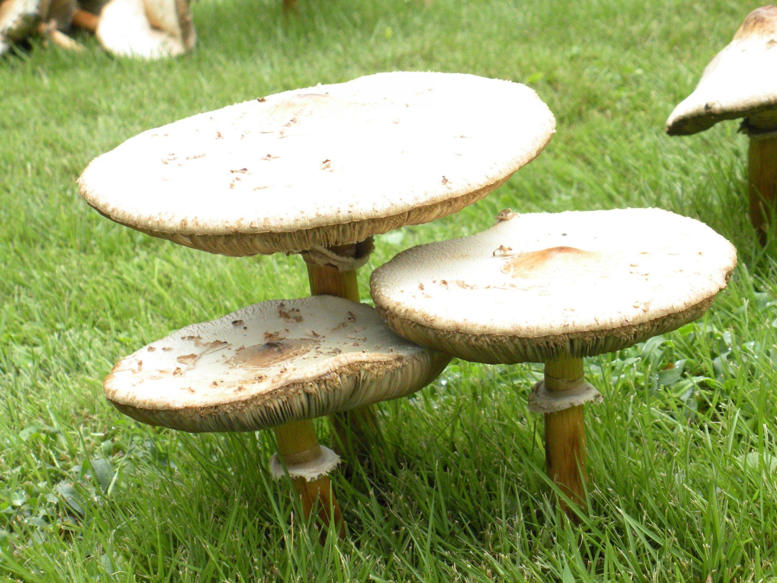 mushrooms 1 (2)
