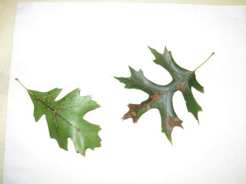 oak leaf scorch