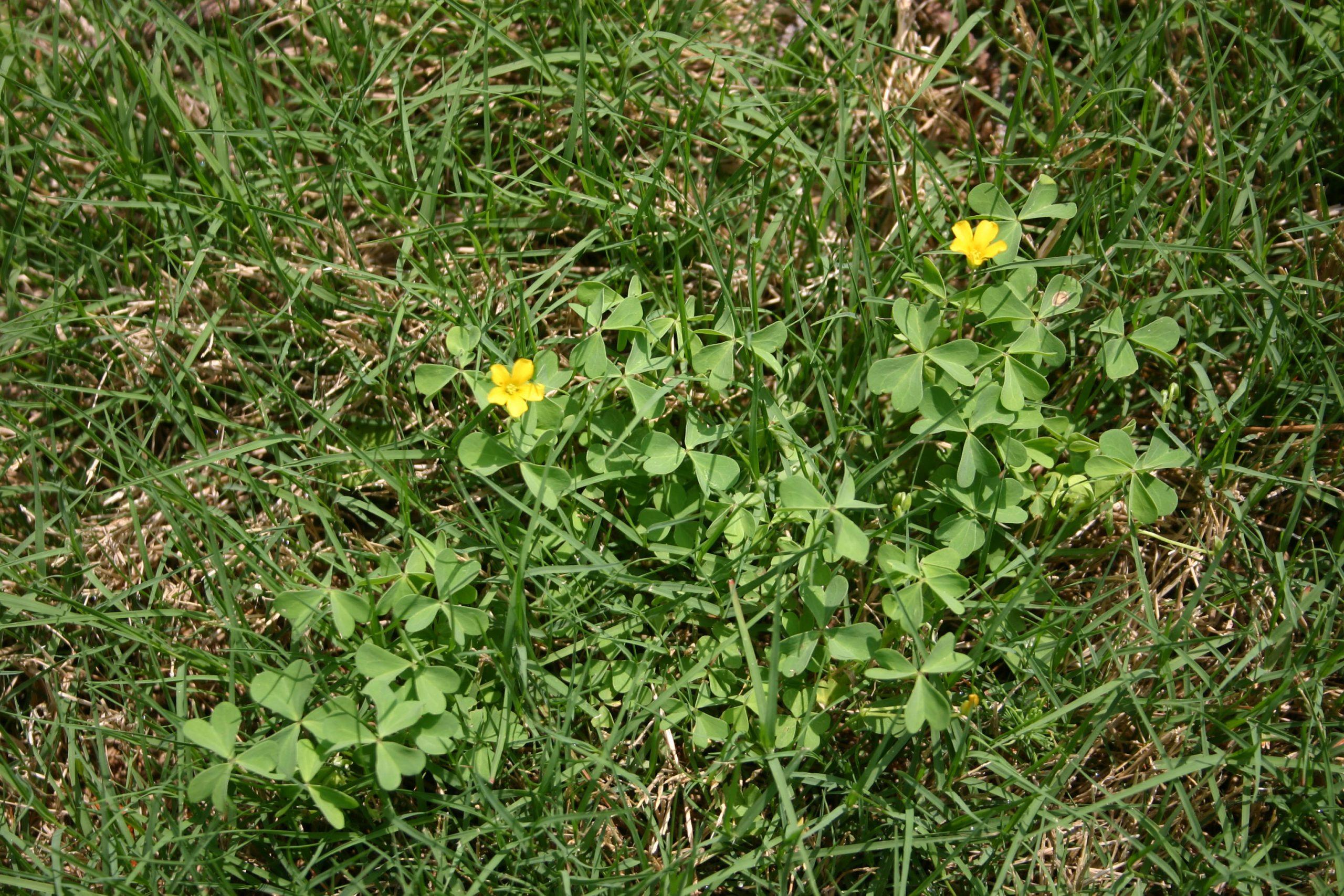 oxalis yellow woodsorrel