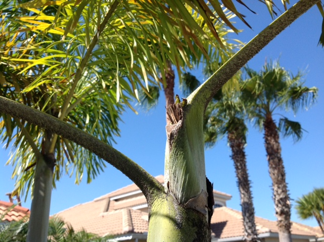 palm boron deficiency 1