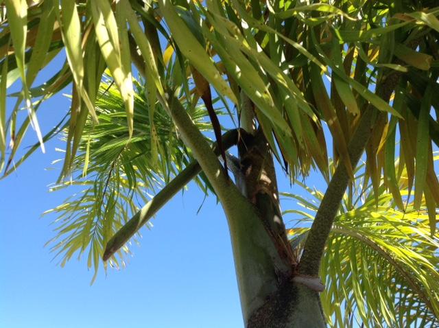 palm boron deficiency 2