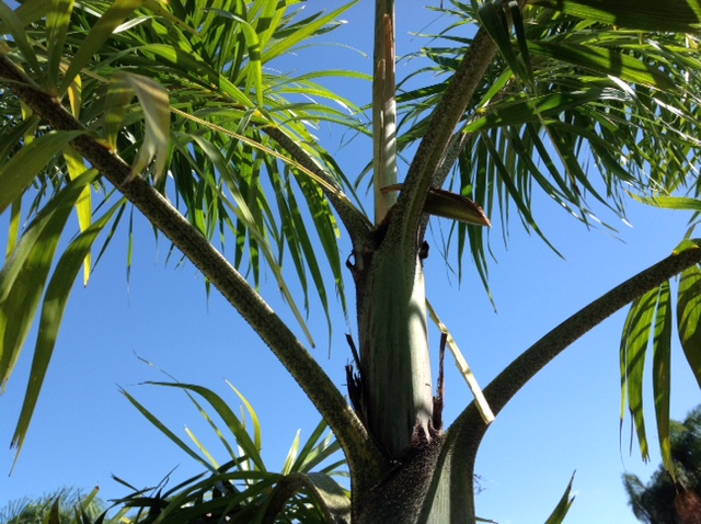 palm boron deficiency 3