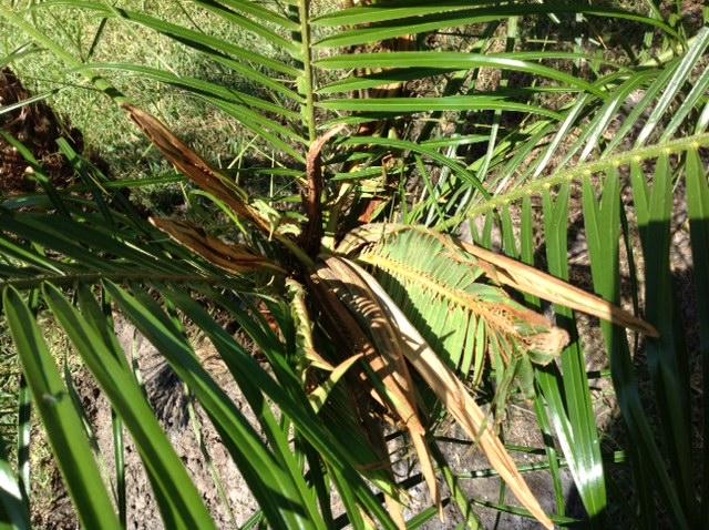 palm pigmy boron deficiency 4