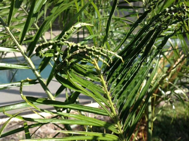 palm pigmy boron deficiency 5