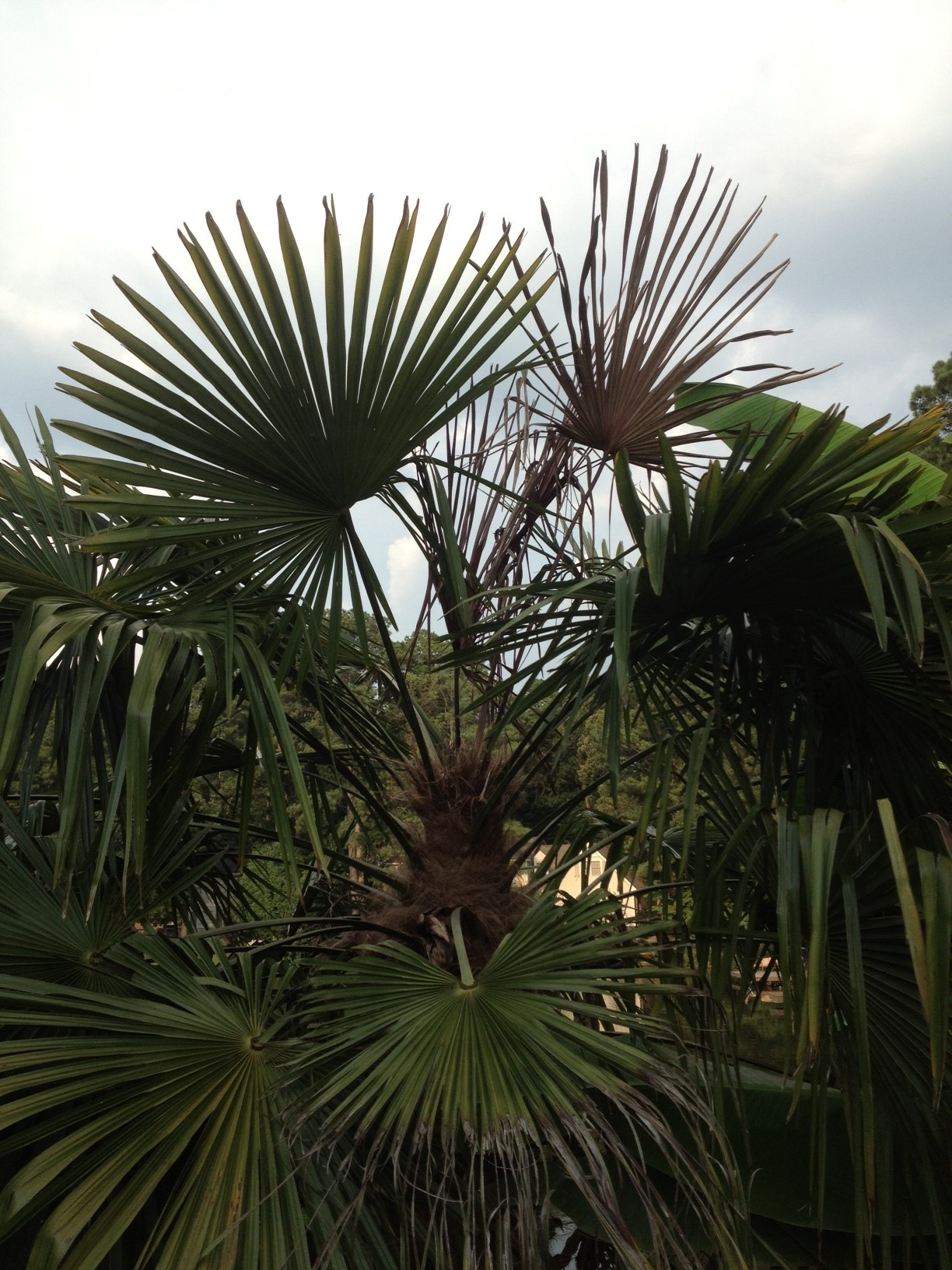 palm windmill bud rot 2