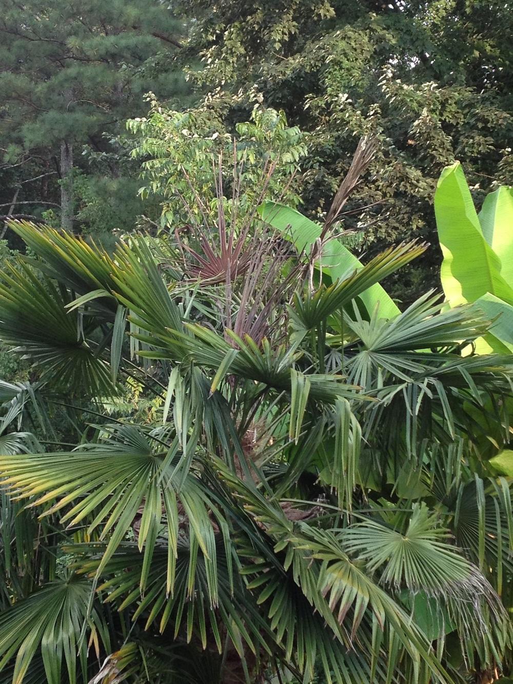 palm windmill bud rot 3