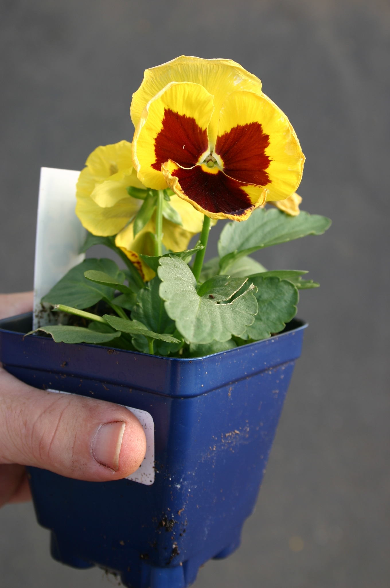 pansy 3 in pot