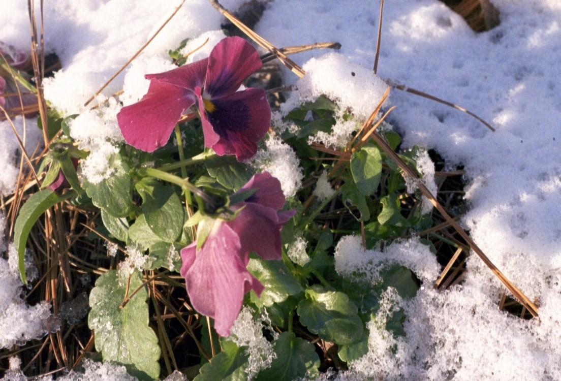 pansy snow on