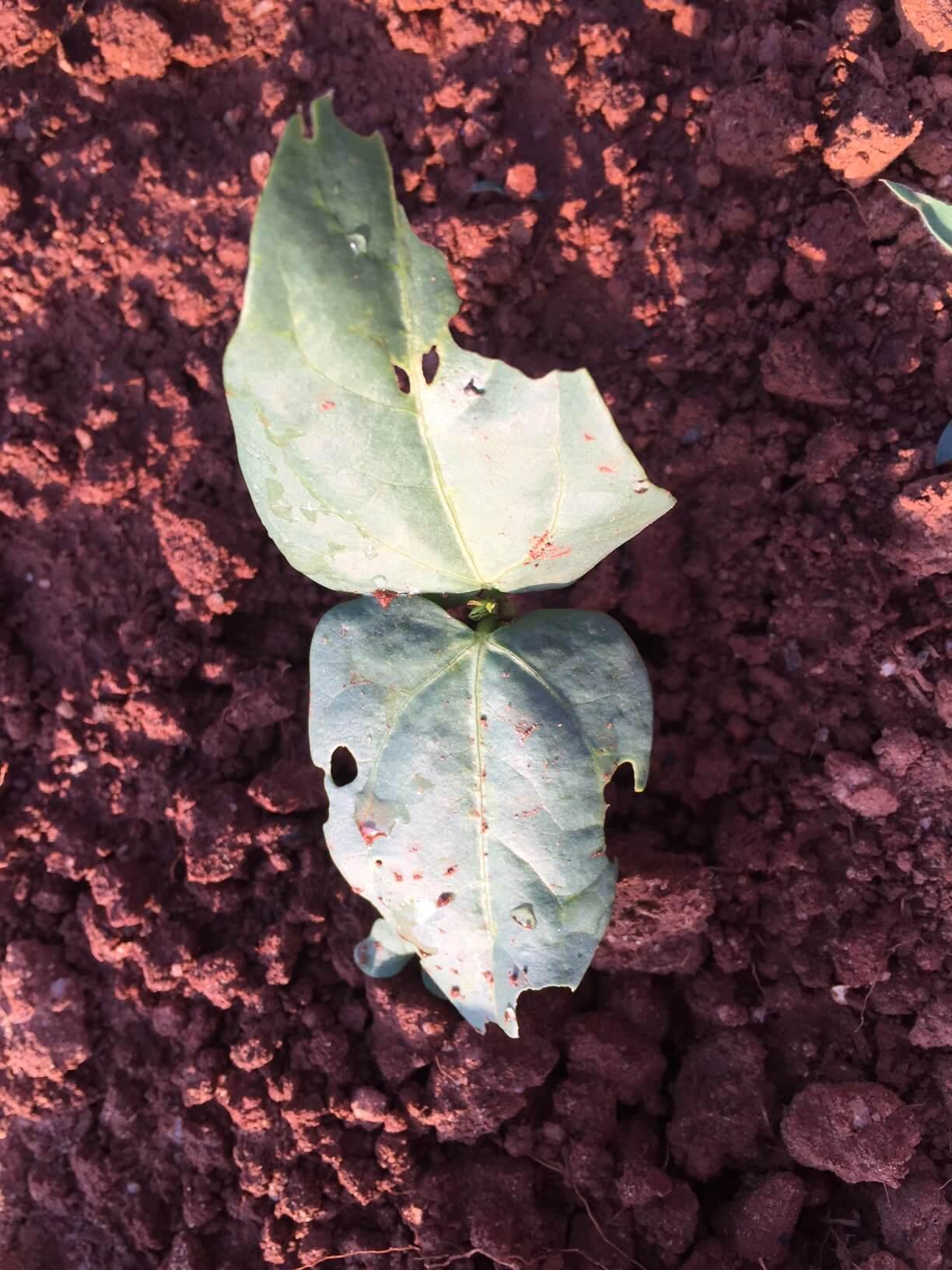 pea caterpillar damage 1
