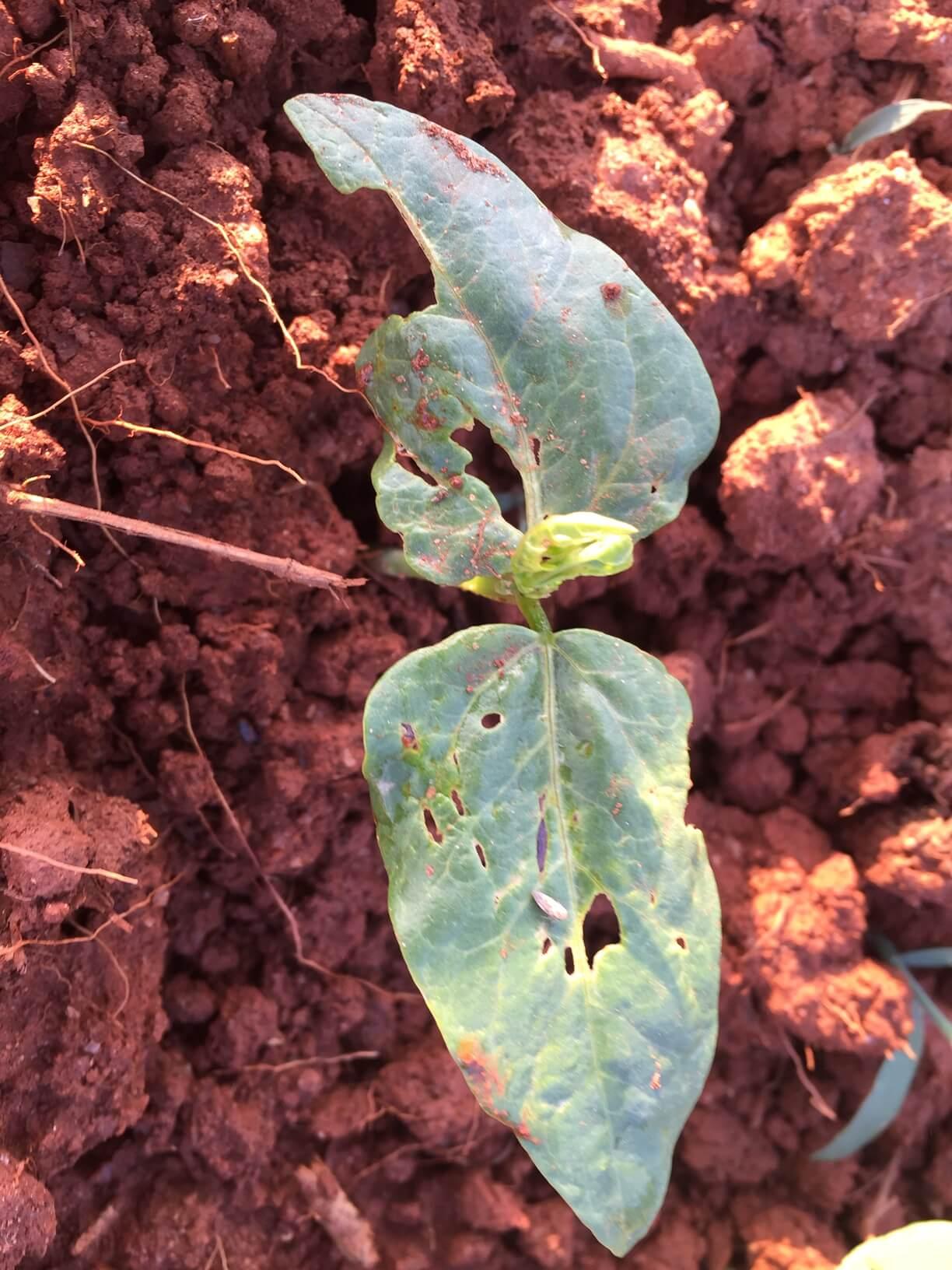 pea caterpillar damage 3