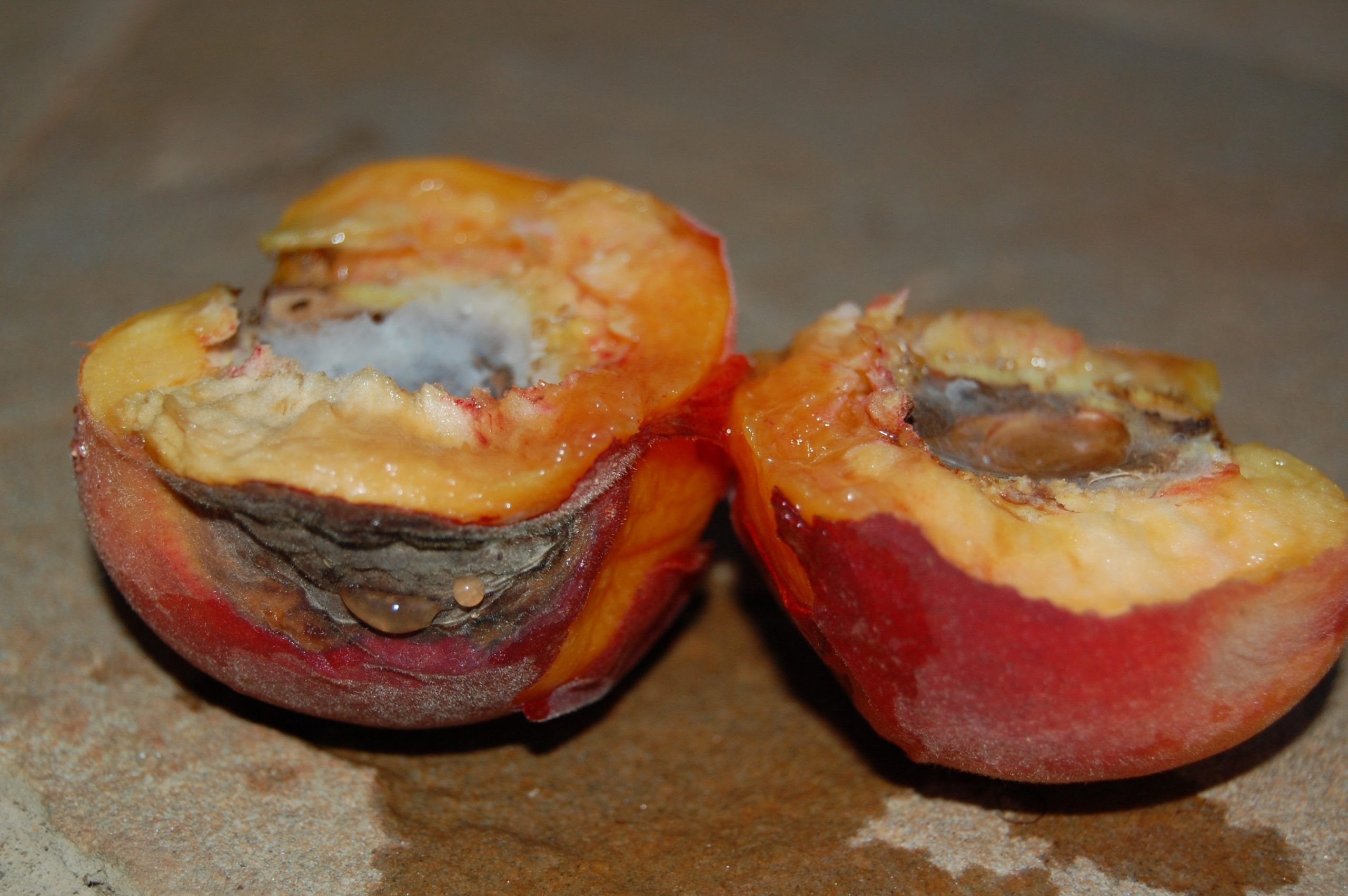 peach brown rot 3 cm_2069