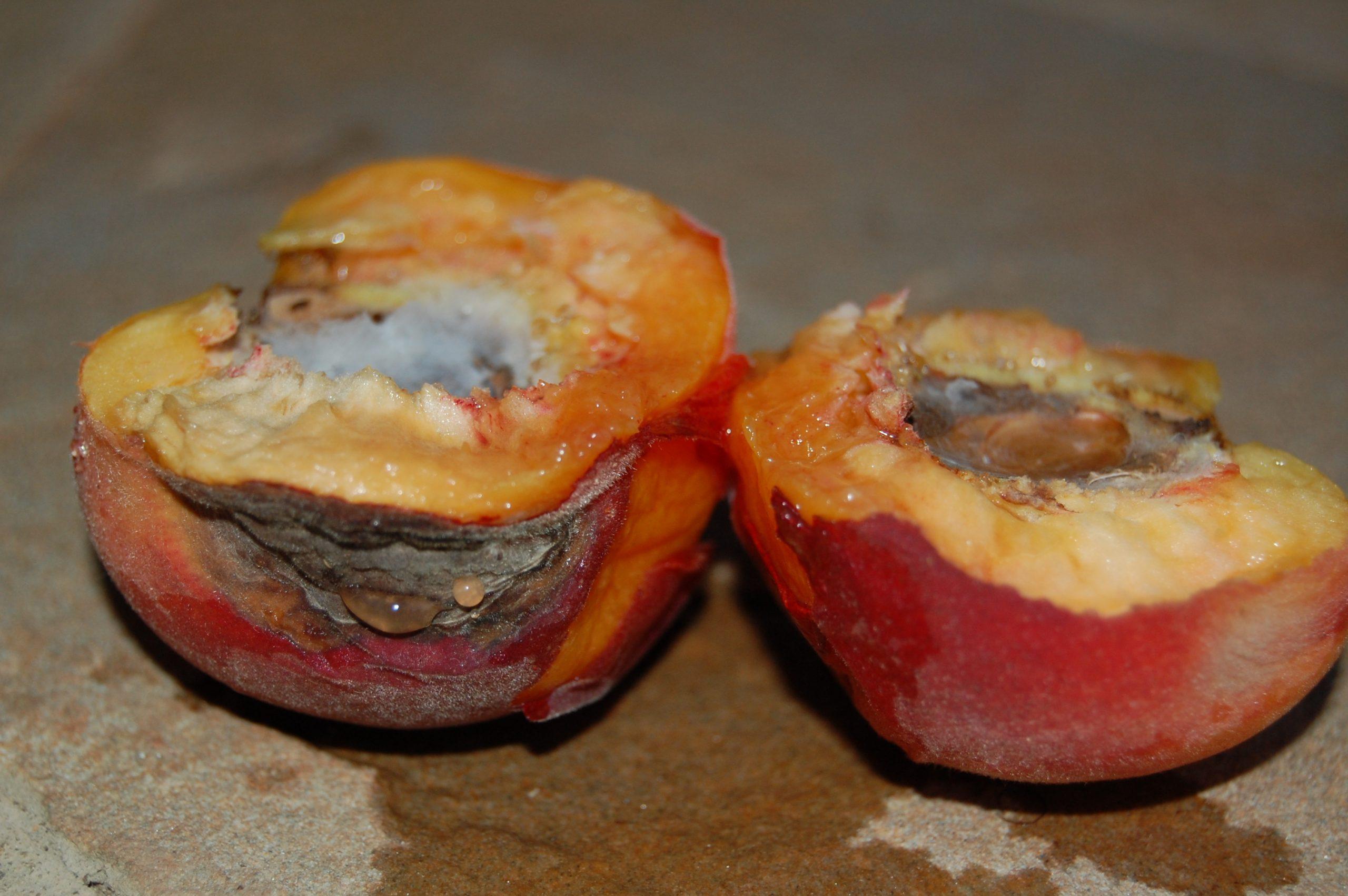 peach brown rot 3 cm_2069